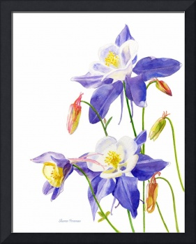 Blue Columbine White Background