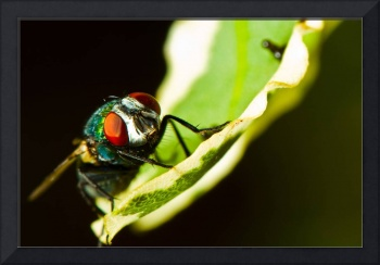 Portrait of a sleeping fly