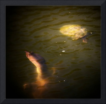 Softshell Turtle and Friend