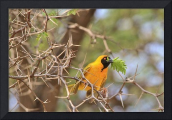 Golden Weaver - Bird of Peace and Color