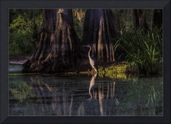 Blue Heron in Swamp