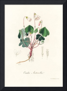 Vintage Botanical Wood sorrel