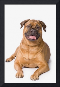 Bullmastiff Dog On White Background