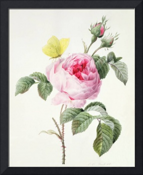 Pink Rose with Buds and a Brimstone Butterfly