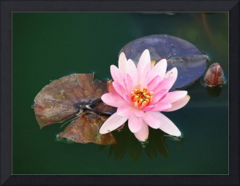 Waterlily on lilypads
