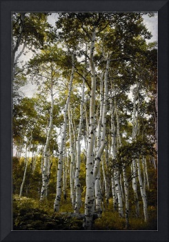 Aspen Trees reacy for the sky hue texture