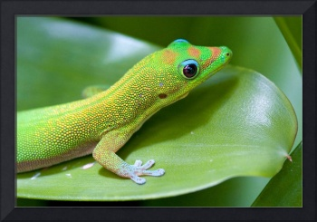 Hawaiian Gold Dust Gecko
