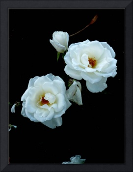 White Roses on Black 3