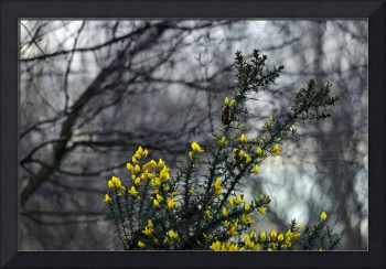 Common Gorse in the Woodland (40093-RDA)