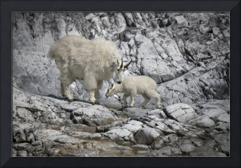Mountain Goat Mama and Kid, Glacier Bay