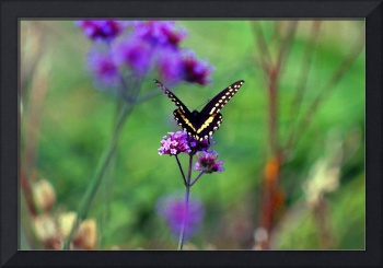 Butterfly  in Field of Fantasy