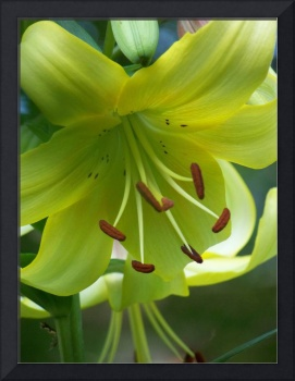 Yellow & Green Daylily