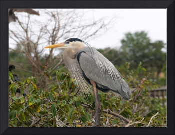 Large blue heron facing north
