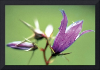 Large Bell Flower (Campanula latifolia) (photo)