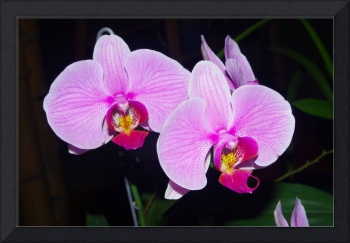 Pink orchids of Colombia
