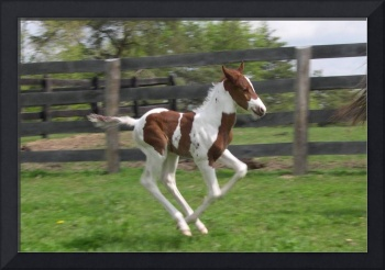 Young Newborn Horse Running In It's Pen