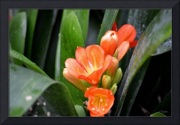 More Clivia opening