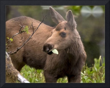Moose Calf Eating