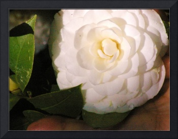 tight white camellia bloom