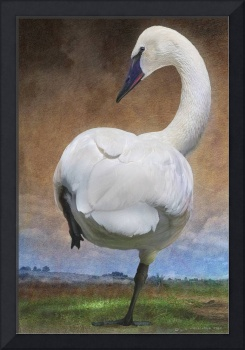 crossing the great plains - trumpeter swan