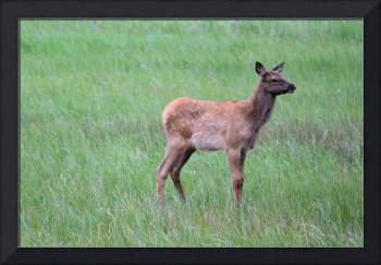 Elk Calf standing alone Yellowstone Park