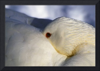 Domestic duck with head tucked under feathers for