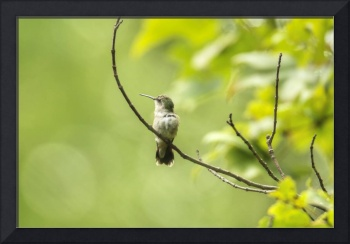 Ruby-throated Hummingbird_Female