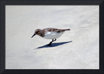 Sanderling Bird on the Florida Shore
