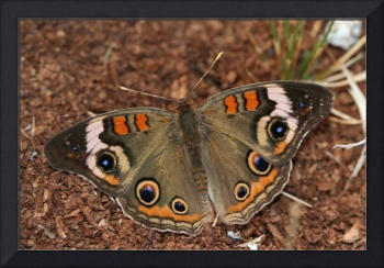 Beautiful Buckeye Butterfly
