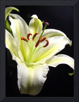 White Regal Lily Timeless