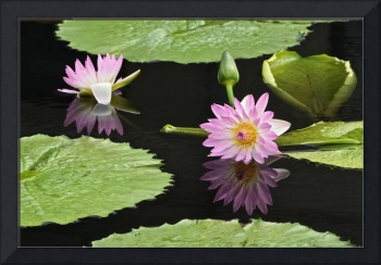 Waterlily Reflections In Dark Water