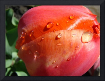 Tulip Flower Pink Orange Floral Raindrops