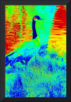 Canadian Goose Drenched in Color