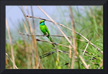 Green Bee Eater in Grass Field