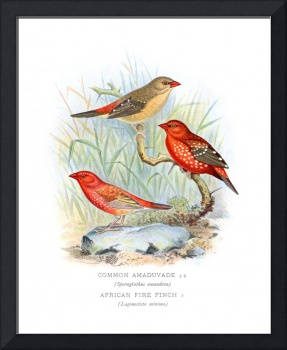 Common Amaduvade and African Fire Finch (1899)