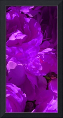 Roses  0277   Purple Edit