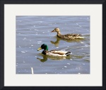 Mallard Pair by Sam Sherman