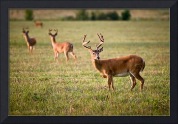 White Tailed Deer Wildlife Photography Nature