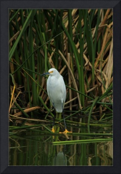 Snowy Egret in Shallow Water