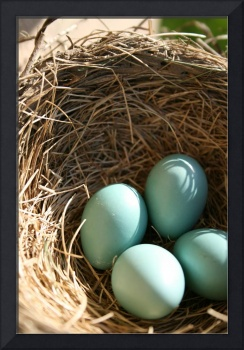 robins eggs in nest
