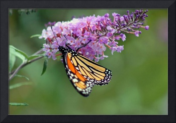 Butterfly  Monarch on Pink Butterfly Bush