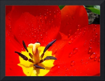 Red Tulip art Print Tulips Flower Macro Spring