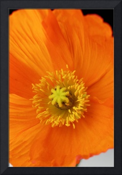 Orange poppy flower close up