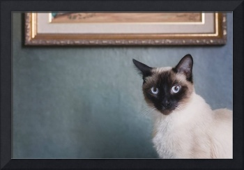 Beautiful Siamese Cat, in Front of Blue Wall