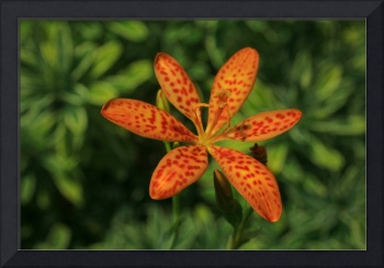 Blackberry Lily - Iris Domestica