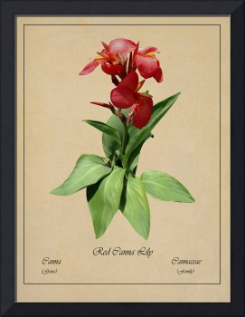 Red Canna Lily Botanical