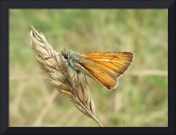 small skipper - moth