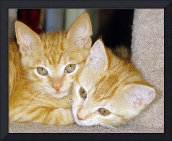 Golden Kitten Twins