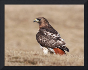 Red-tailed Hawk Male