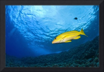 Yellowtail Snapper, Molokini Crater, South Maui, H